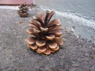 fall-pinecone-by-a-a